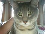 Mystery - Shiny bengala Maschio (2 anni)