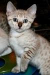mimy - Shiny bengala (10 mesi)