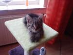 Mau mau - Shiny maine coon Maschio (7 mesi)