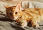 Un beau chat Européen roux tigré