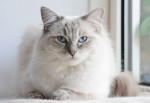 Un Ragdoll blue point aux yeux bleus