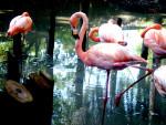 Fenicottero flamingo - ()