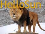 Leone Lion - Maschio ( (7 anni))