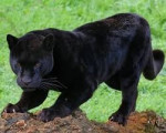 Pantera o leopardo panterita - Maschio ( (1 mese))