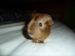 Porcellino d'India Rodney - Maschio ( (2 anni))