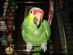 Uccello Leeloo, Amazon Automnalis - ()