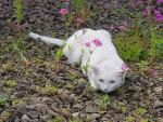 Chat blanc (1) -