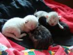 Les chatons de Noizette -
